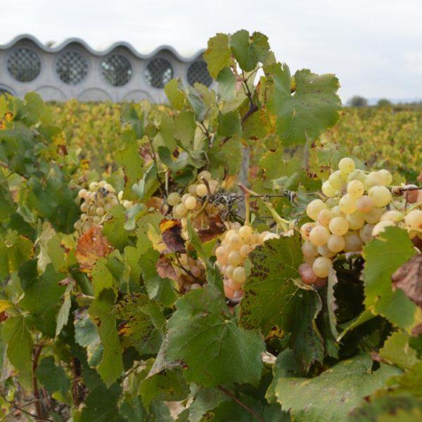 Taller de viñas y vendímia - 10