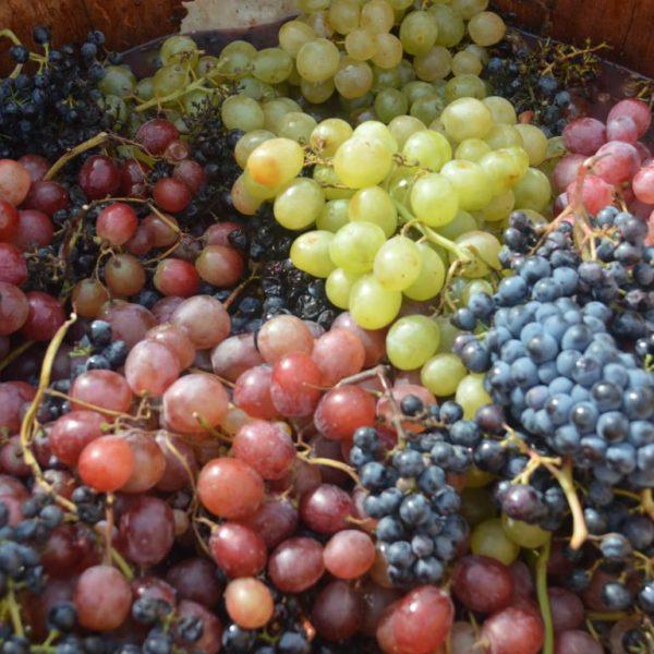 Taller de vinyes i verema - 18